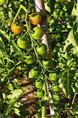 Unripe cherry tomatoes 'Supersweet 100', Provence, France