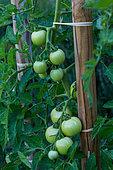 Unripe tomato 'Paola', Provence, France