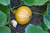 Squash 'Bushfire' in a Vegetable Garden, Provence, France