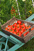 "Tray of tomatoes 'Celesteen"", Provence, France"
