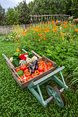 Summer harvest of fruits and vegetables on a wheelbarrow, Provence, France