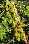 Vegetable Garden Cherry Tomato Grape Green Provence France