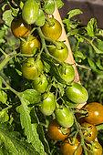 Cherry tomato 'Green Grape', Provence, France