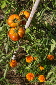 Tomato and Tagetes, Provence, France