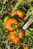 Tomato, Provence, France