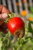 Blossom end rot on Tomato ''Cornue des Andes', Provence, France