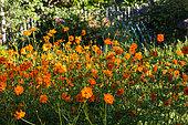 Cosmos sulphureus in a vegetable garden, Provence, France