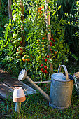 Various tomatoes in a vegetable garden, Provence, France