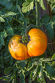 Sunscald effect on a Tomato 'Pinneapple', Provence, France