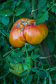 Tomato 'Pineapple', ugly vegetable, Provence, France