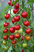 Cherry tomato 'Supersweet 100', Provence, France