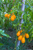Tomate poire jaune 'Yellow Pearshaped', Provence, France
