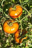 Tomato 'Marnero', Provence, France