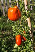 Tomato 'Cornabel', Provence, France