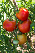 Tomato 'Cobra', Provence, France