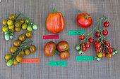 Tomato 'Cornabel'', Tomato 'Saint-Pierre', Tomato Cherry 'Raisin vert'', Tomato 'Marnero', Tomato Cherry 'Sweet', Provence, France