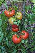 Jardin potager Tomates Monte Carlo Provence France