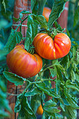 Tomato 'Pinneapple', Provence, France