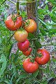 Tomato 'Monte Carlo', Provence, France