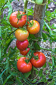 Monte Carlo tomatoes, Vegetable garden, Provence, France