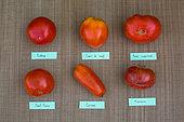 Tomato 'Cobra'', Tomato 'Coeur de boeuf', Tomato 'Supersteak', Tomato Saint-Pierre, Tomato 'Cornue', Tomato 'Marnero', Provence, France