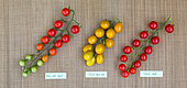 Grappes de tomates 'Sweet', 'Super Sweet 100' et 'Raisin vert', Provence, France