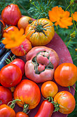 Tomatoes and eggplants in a kitchen garden, Provence, France