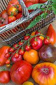 Tomatoes 'Cornue des andes', 'Coeur de Boeuf' rouge et jaune, 'Pineapple', 'Noire de Crimée', Provence, France
