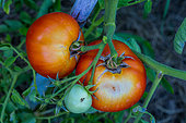 Sunscald effect on a Tomato 'Saint-Pierre', Provence, France