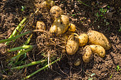 Harvesting new potatoes 'Amandine' in july, Provence, France