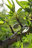 Almond (Prunus dulcis) unripe fruits on branch in april, Provence, France