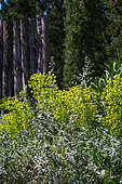 Mediterranean Spurge and Tree germander in april, Provence, France