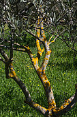 Lichen on the branches of an Olive tree, Provence, France