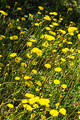 Holy Land Hawksbeard (Crepis sancta) blooming in a garden in april, Provence, France