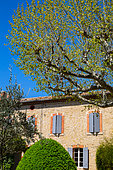 Plane tree, Olive tree and Box in front of a traditional house in april, Provence, France