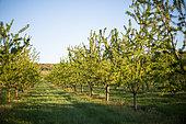Verger d'amandiers en avril, Provence, France