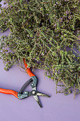 Freshly cut Thyme, Provence, France