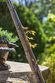 Parthenocissus shoot growing up a bamboo cane support, Provence, France