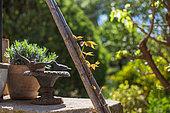 Jeune pousse de Vigne vierge courant sur un support en bambou, Provence, France