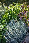 Immortelle dans un carré de plantes aromatiques, Provence, France