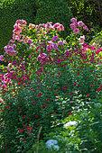 Floribunda Rose between Beardtongues