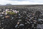 Gazon d'Espagne (Armeria maritima) touffe fleurie sur sol volcanique, Islande