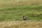 European golden plover (Pluvialis apricaria) on ground, Iceland