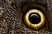 Eye spot of an owl butterfly (Caligo memnon)