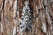 Giant leopard moth (Ecpantheria scribonia) on bark, Florida
