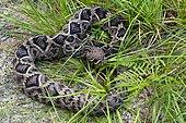 Eastern diamondback rattlesnake (Crotalus adamanteus), Alachua, Florida