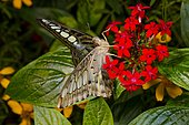 Clipper butterfly (Parthenos sylvia) on flowers, Asia