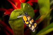 Dero clearwing butterfly (Dircenna dero) on leaf