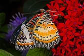 Malay lacewing butterfly (Cethosia hypsea) on flowers, Asia