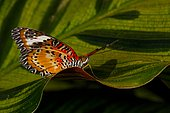 Malay lacewing butterfly (Cethosia hypsea) on a leaf, Asia